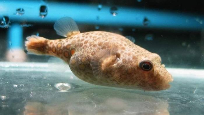 Tetraodon suvattii pesce palla