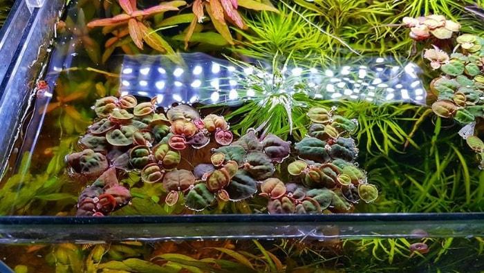 Phyllanthus fluitans pianta galleggiante acquario