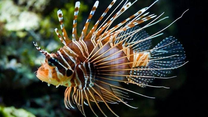 Pterois Volitans (lionfish)