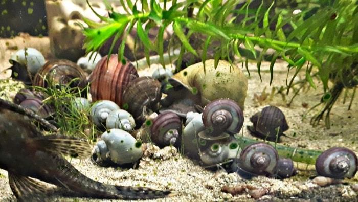 Ampullarie colonia estesa