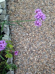 seaside garden in the suburbs - shells in the garden instead of pebbles or stones (7)