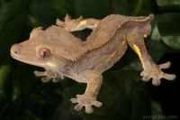 Crested Gecko Care Page 288