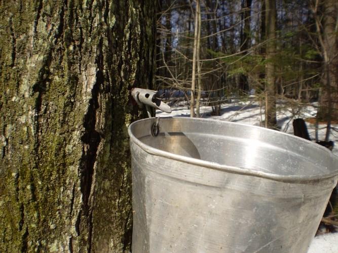 maple-sap-bucket