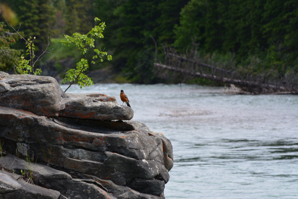 American robin standing on a rock outcrop over Castle River
