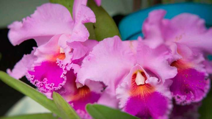 Se aproxima el Festival Internacional de la Orquídea 2019