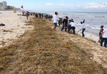 La Secretaría de Marina-Armada de México (SEMAR) dio a conocer que del 1 al 16 de julio recolectó más de seis mil 24 toneladas de sargazo en las principales playas del Caribe Mexicano, con ayuda de mil 843 personas, de manera manual y con bandas, barredoras y sargaceras.
