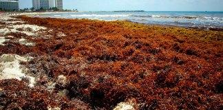 La Secretaría de Marina-Armada de México (Semar) dio a conocer un estudio donde se establece que, la plaga de sargazo que invade playas del Caribe Mexicano, no contamina las aguas, ni causa daño al ser humano.