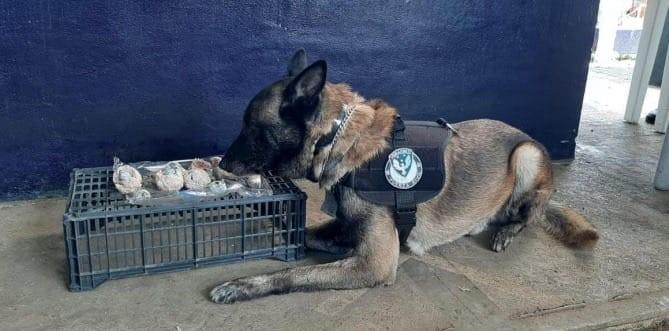 Agentes caninos detectan droga en CAXA y CERESO de Pacho Viejo; dos detenidos