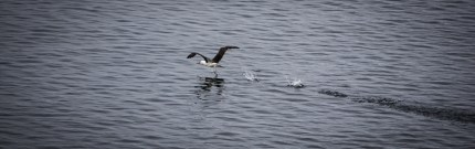 Ready for take off. I watched him run across the water for about 200 metres before it went into flight.