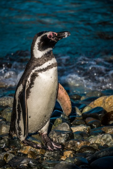 A penguin after his swim
