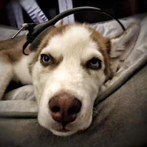 Dog wearing telecommunicator headset in the Communications Center