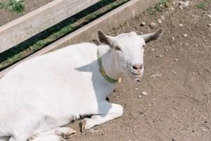 グリーン牧場のひつじの写真
