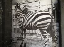 unnamed ZEBRE