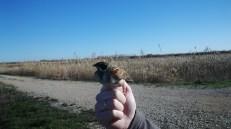 Escribano palustre (Emberiza schoeniclus) anillado / Ringed Common Reed Bunting
