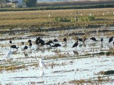 Bando de Moritos (Plegadis falcinellus) / Glossy ibis
