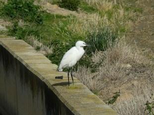 Garceta común (Egretta garsetta) / Little Egret