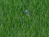 Garcilla cangrejera asomando entre las matas de arroz en el Parque Natural de la Albufera