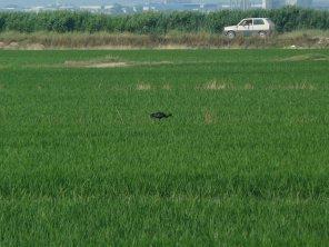 Morito en el arrozal. Parque Natural de la Albufera