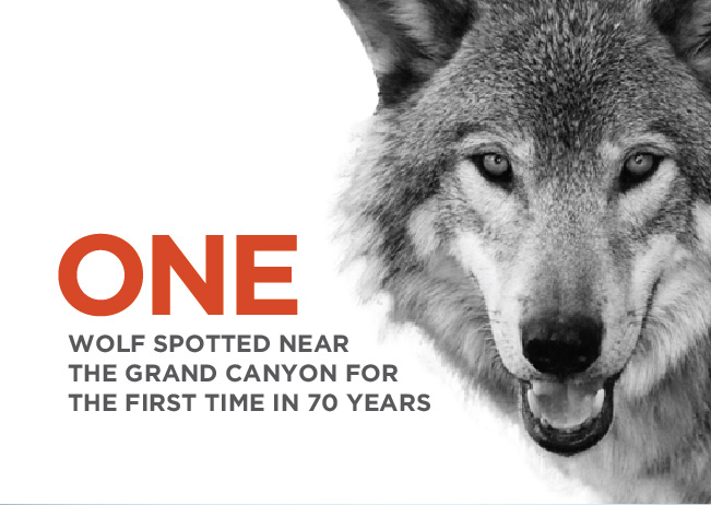 One wolf spotted near the Grand Canyon for the first time in 70 years.