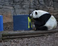 Panda Picks Michigan