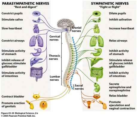 Image result for autonomic nervous system sympathetic