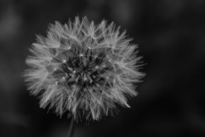 A dandelion clock like this one is a great opportunity to play with an out breath!