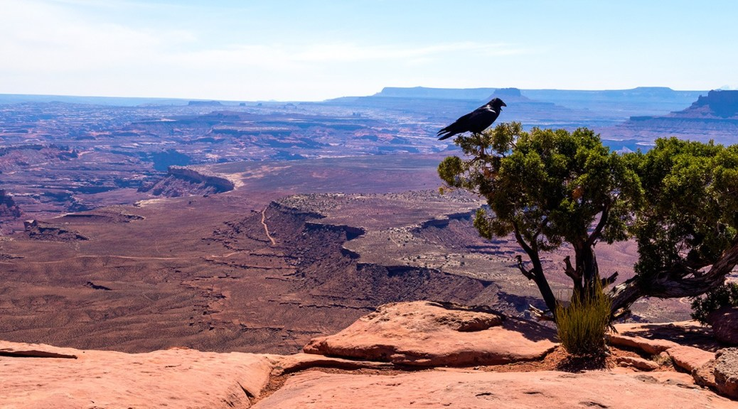 Raven at Murphy Point Overlook, Canyonlands National Park, Utah