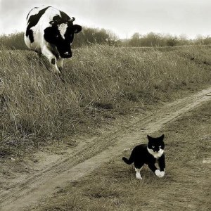 Cats Fear Cow Chauvinism