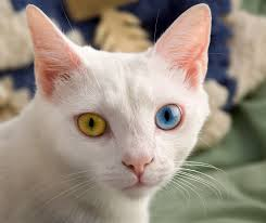 Two Eye Color Cat