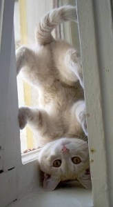 Cat Headstand