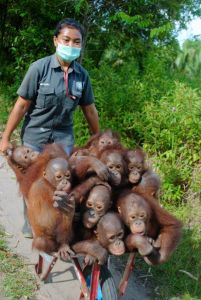 Orangutans in Wheelbarrow