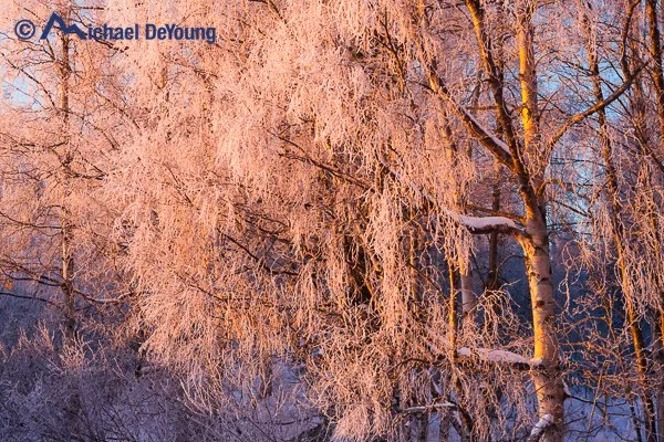 Frozen birch trees at sunset