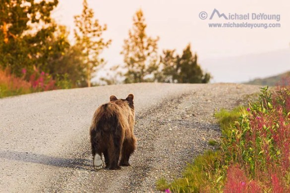 Young grizzly walks the Denali National Park road in early morning near Reflection Pond.