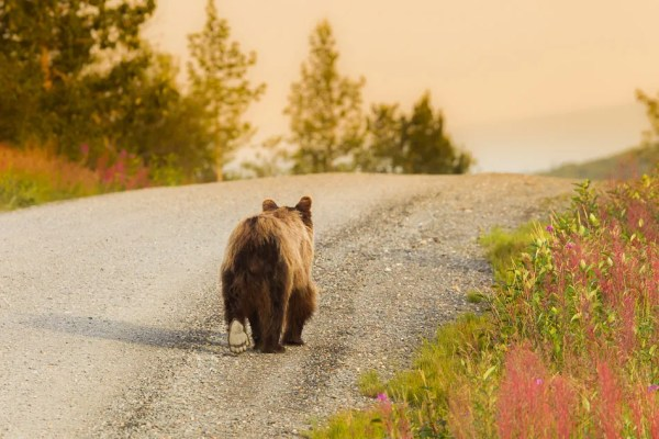 Young grizzly bear walking on road in morning, Denali National Park, Alaska