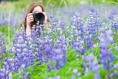 Photographer capturing close-ups of lupines near Girdwood, Alaska