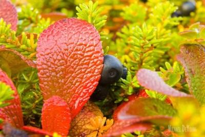 Close-up image of Alaska tundra vegetation © Michael DeYoung