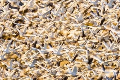 Snow geese mass lift-off