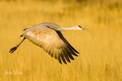 Sandhill crane taking off from corn fields