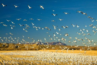 Snow geese take off from corn fields