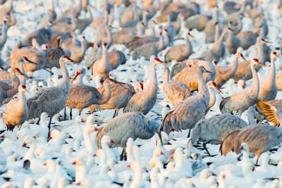Sandhill cranes mingle among snow geese