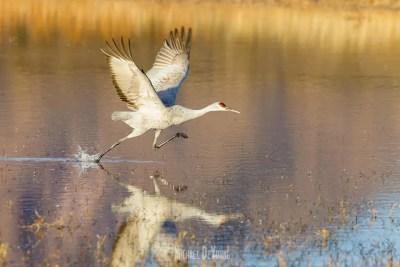 Sandhill crane prepares to take off