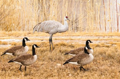 Canada geese pass by a solo sandhill crane
