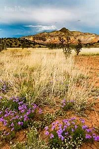 Wildflower blooms near Ghost Ranch