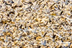 Photo of snow geese mass take-off at Bosque del Apache