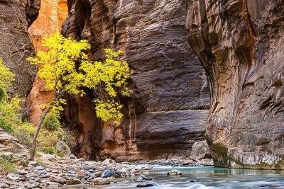 Canyon walls and fall colored tree in Zion Virgin River Narrows © Michael DeYoung