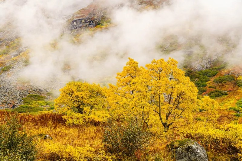 Fall colored tree stands out against the fog and rain up Archangel Valley near Palmer Alaska. © Michael DeYoung