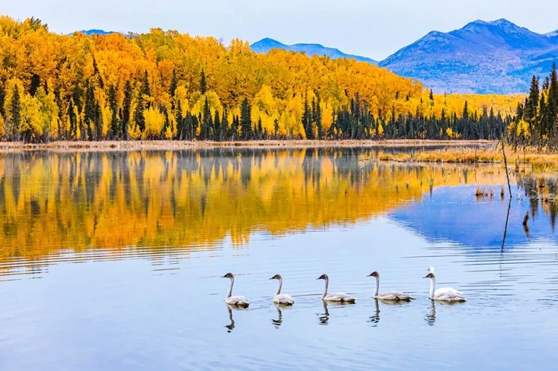 Trumpeter swan family on Anchorage area lake. © Michael DeYoung