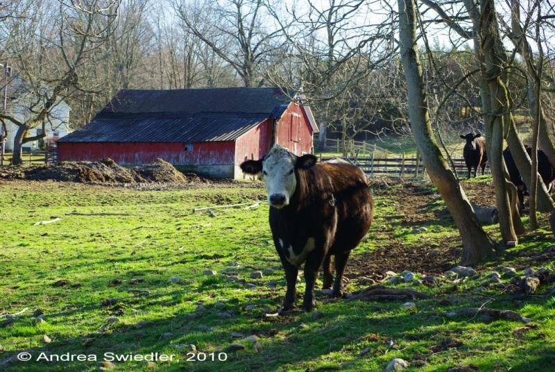 Gaylordsville CT cows