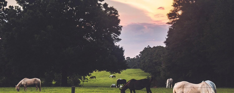 field_horses