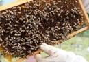 La cría de abejas se intensifica en Loja